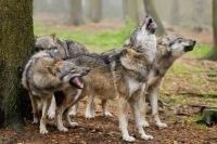 Poveste lupi